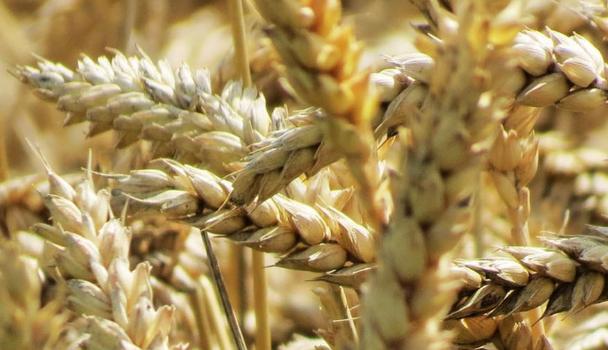 Propiedades curativas del trigo
