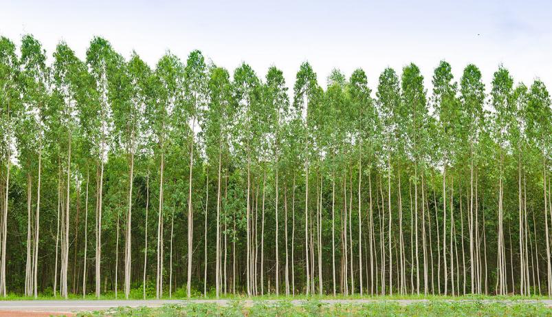 Bosques de eucalipto