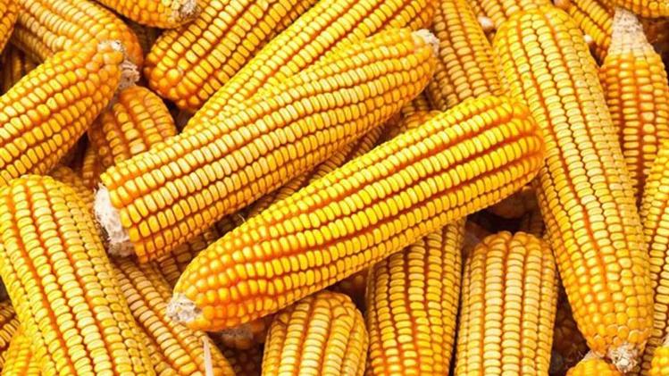 Propiedades curativas del maiz