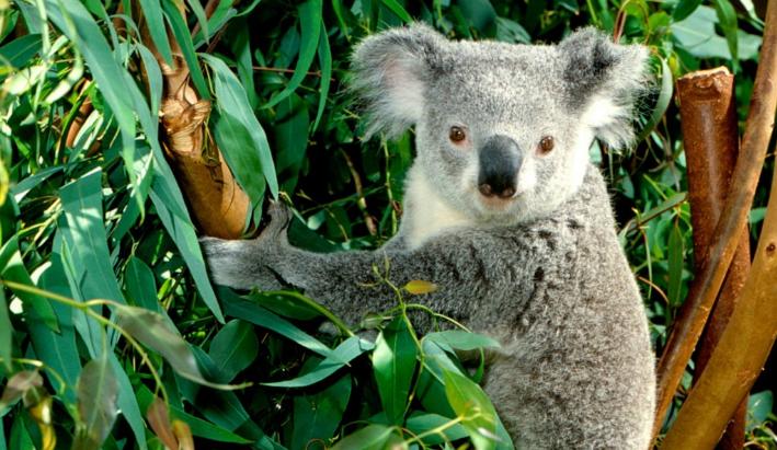 Descubre los beneficios del eucalipto