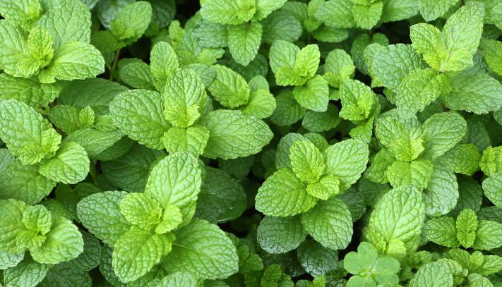 Beneficios y propiedades de las hojas de menta